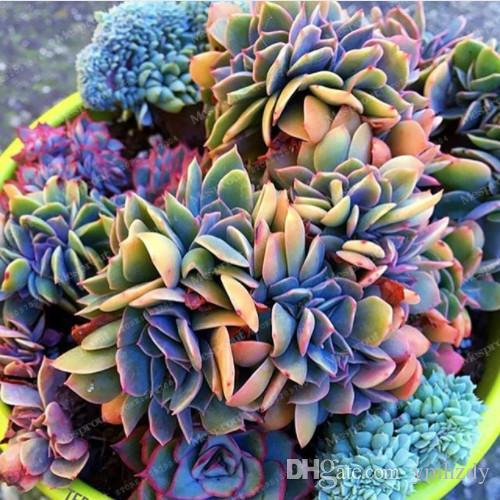 Best-Selling 100pcs Japanese Succulents Seeds Rare Indoor Flower Mini Cactus Seeds Fleshier Plant Polygon Flower Seeds For Sale